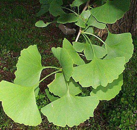 ginkgo biloba arbre